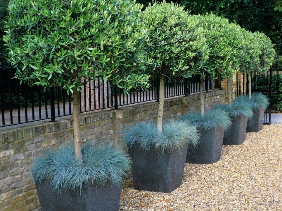 These rows of trimmed olive trees grow in square containers ...