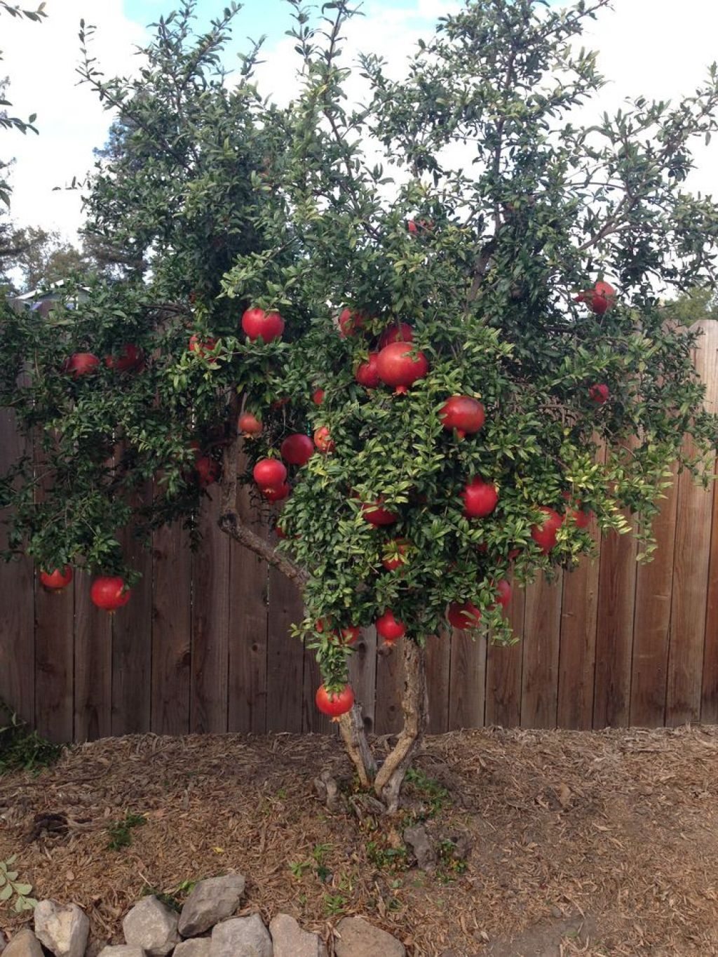 Backyard Garden With Wooden Fences And Pomegranate Tree ...