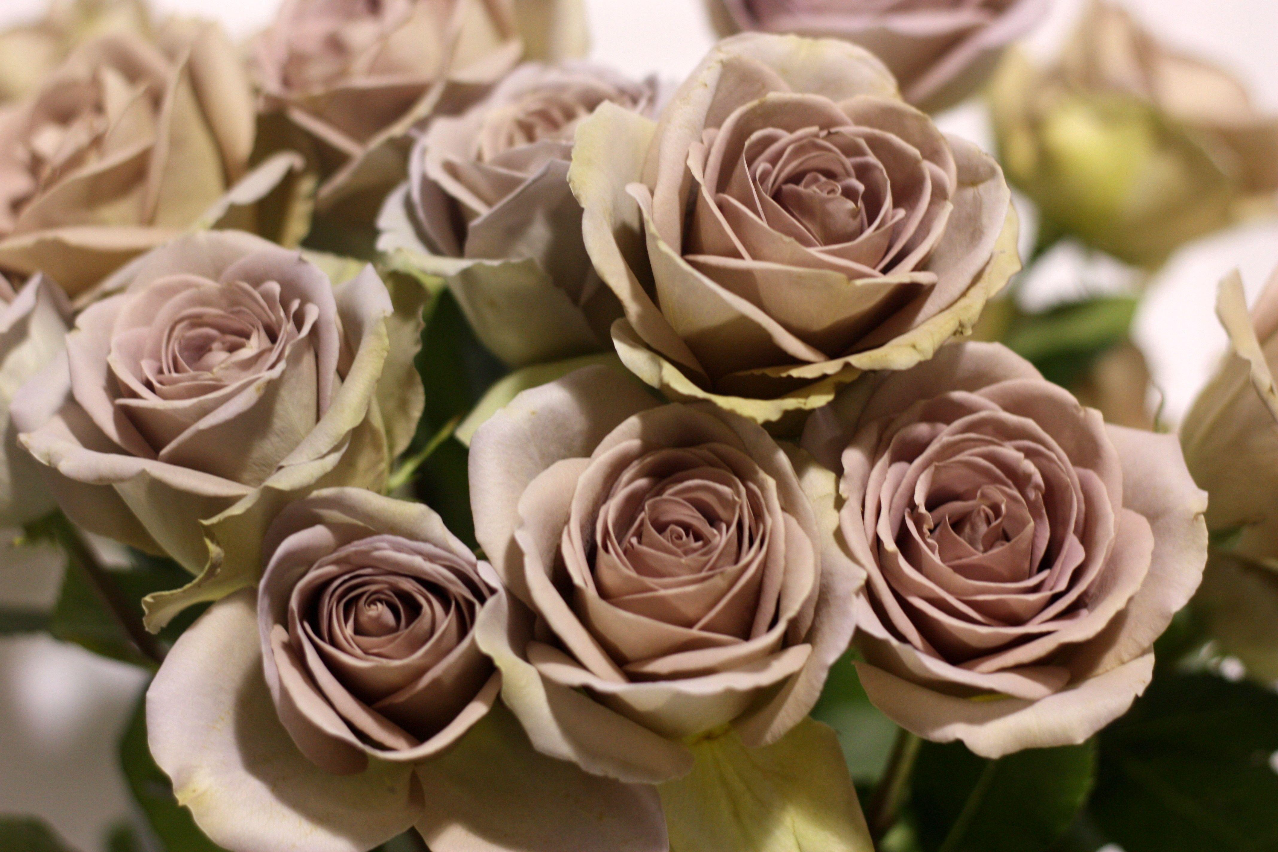Amnesia Rose | Wedding Ideas | Pinterest | Amnesia rose, Amnesia and ...