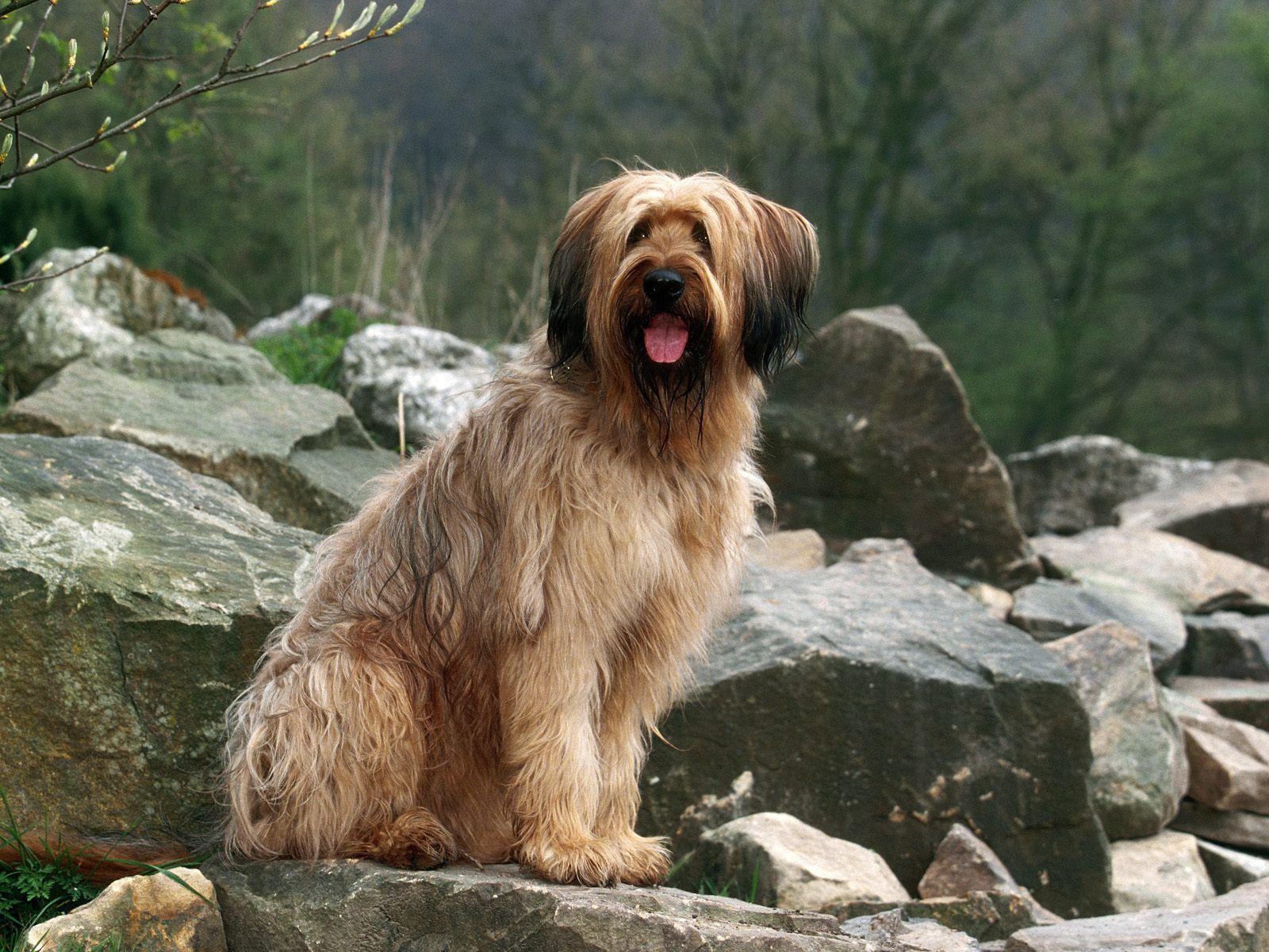 Briard Berger De Brie Dog Puppy Briard Dog Grey Pitbull