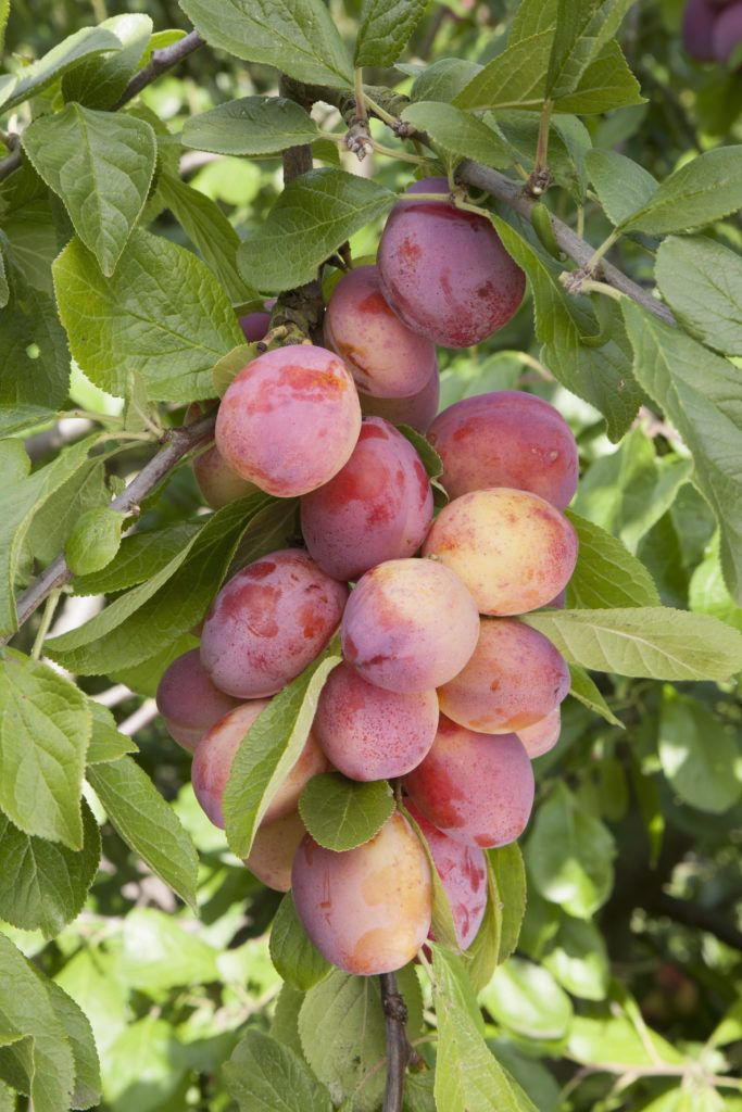 2 Plum Victoria This Self Fertile Plum Produces Bumper Crops Of Juicy Fruits Its Pink Red Skin Has A Beautifu Fruit Tree Garden Fruit Trees Uk Fruit Garden
