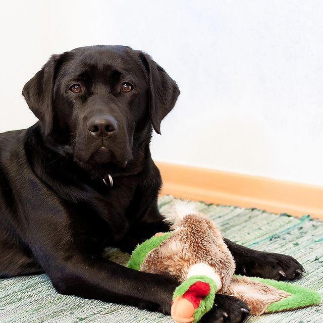 Black Labrador Retriever Lotte Black Labrador Retriever Labrador Retriever Labrador