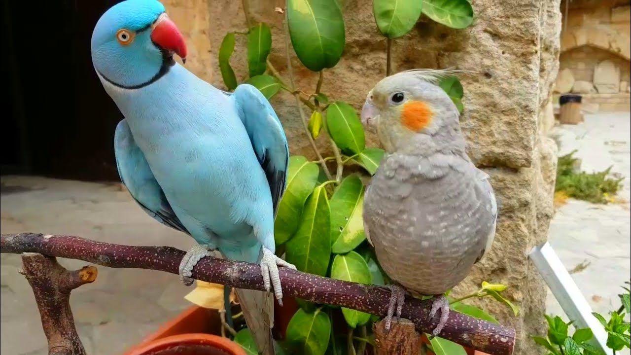 Disisine Kur Yapan Papagan Coco
