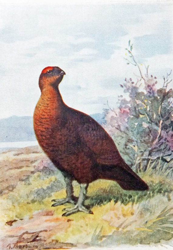 Red House Drawing: Grouse, Art, Antique Bird Print, Home Decor, Red Grouse