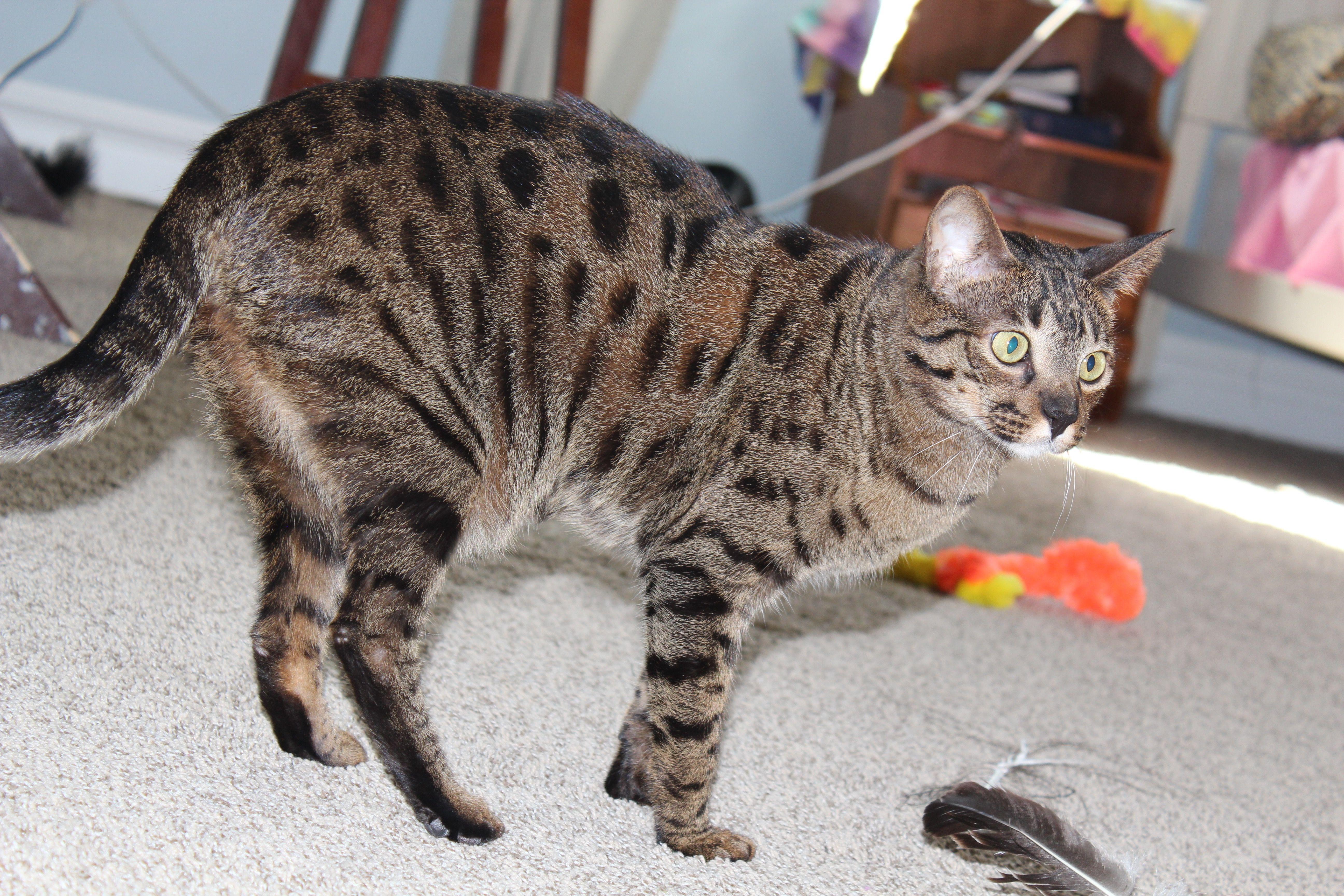 Celeborn- the chocolate Savannah cat | Savannah Cats | Pinterest