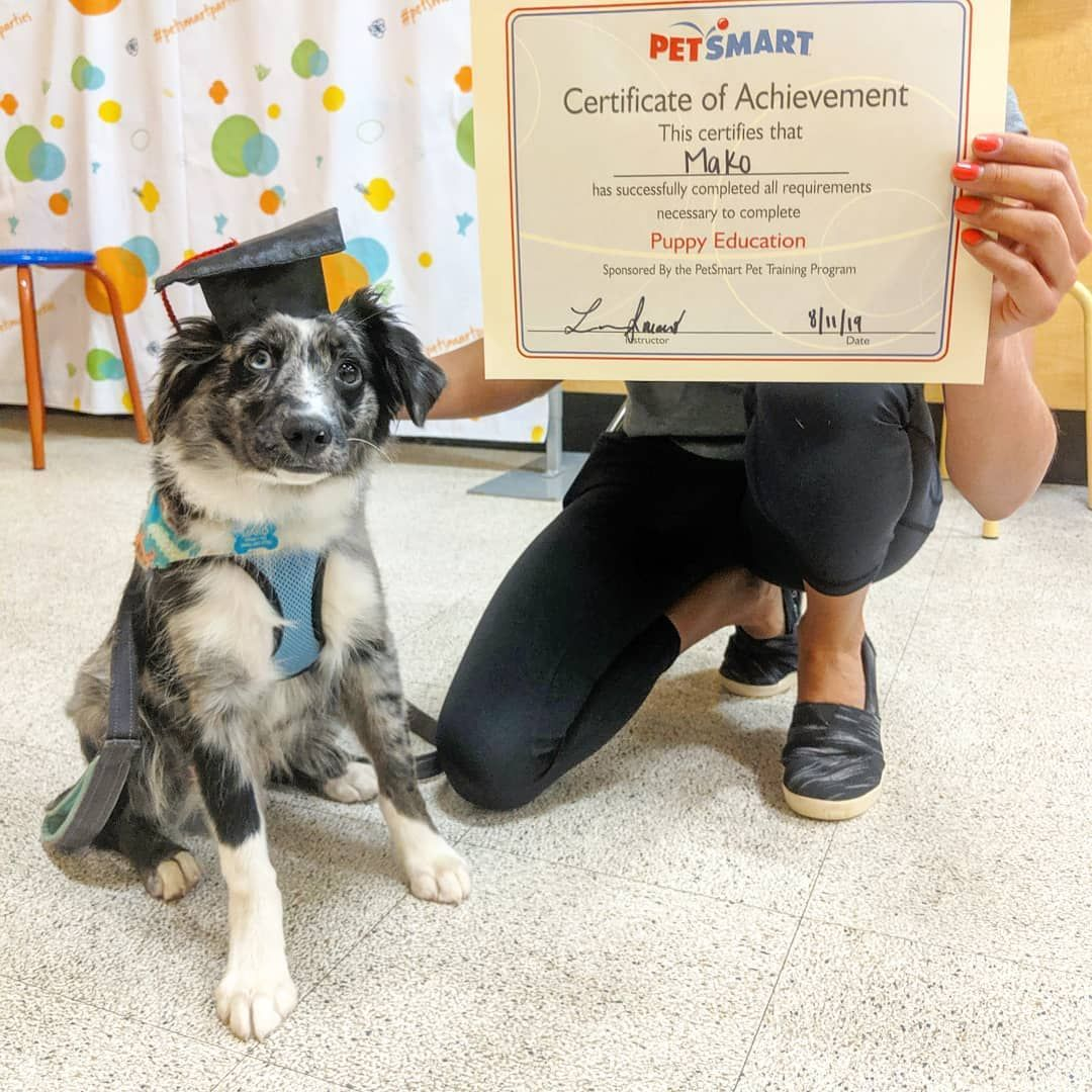 I Is A Graduate I Think My Parents Learned More Than I Did Wigglebutt Puppy Dogsofinstagram Australia Puppy Training Dogs With Jobs Pet Training