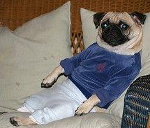 Straight chillin' Pug