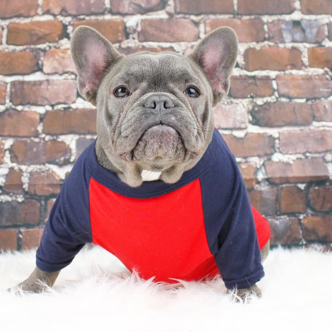1 290 Likes 21 Comments Bentley Harlow Perth Wa Bentleythefrenchiewa On Instagram When I Look In The Mirr Cute French Bulldog Cute Animals Cute Dogs