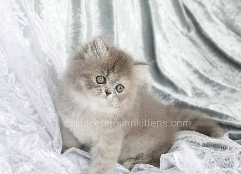 Skyla Blue Silver Tortie Female Ultra Rare Silver Tabby Kitten Persian Kittens For Sale Tortie