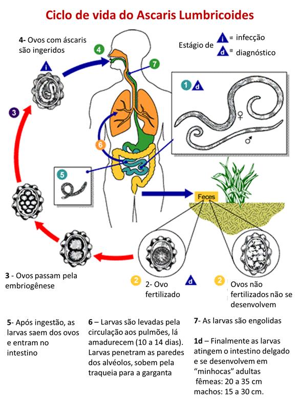 Giardia em uman tratamento. Giardia sintomas e tratamento