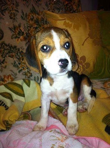 Pink Beagle Nose Beagle Baby Beagle Cute Dogs