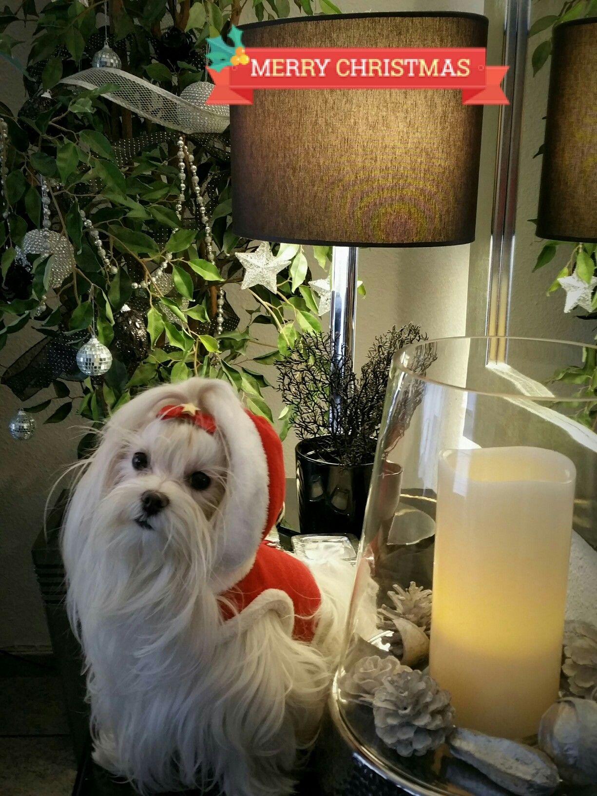 Merry christmas teacup puppies maltese small dog photos