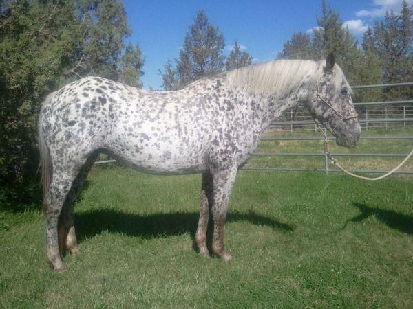 100%FPD GAP5 Homozygous Black Appaloosa Mare IN FOAL | Horses for