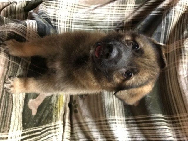 Litter Of 8 German Shepherd Dog Puppies For Sale In San Antonio