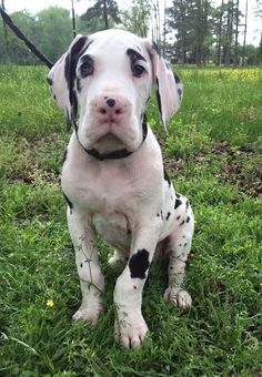Great Dane Dane Dog Great Dane
