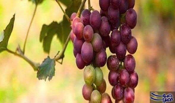 6 فوائد جمالية لزيت بذور العنب في…: أكدت العديد من الدراسات أن الزيوت النباتية كزيت بذور العنب، زيت النخيل، وزيت الأرغان المغربي تحتوي…