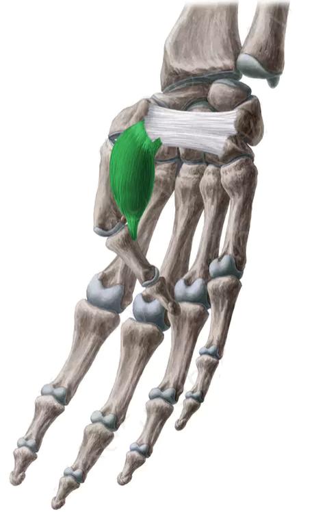 Vista 2 Flexor Corto Del Pulgar Anatomia Musculos Anatomía Médica Musculos