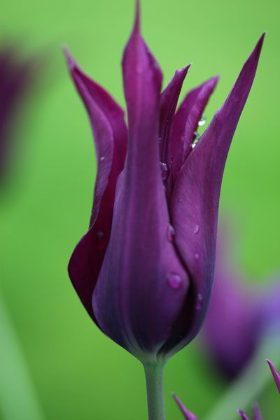 Tulipa Burgundy Lily Flowered Tulip Bulbs Tulip Bulbs Lily Flower Purple Tulips