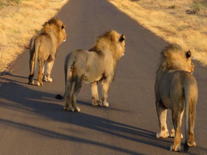 Lion Kings of the Road at Madikwe Game Reserve in South Africa by Graeme Mitchley Wildlife Photography