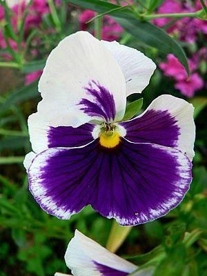 White and purple flower flowers pinterest flowers purple white and purple flower mightylinksfo