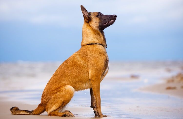 Belgian Malinois Puppies Price Temperament Breed Information Profile All Things Dogs In 2020 Dog Breed Names Smartest Dog Breeds Malinois