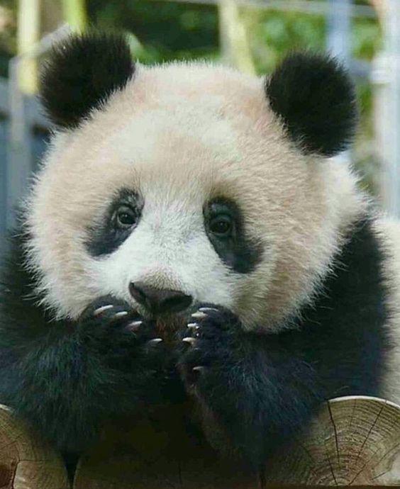 картинки с пандой милые смешные возбуждаете его