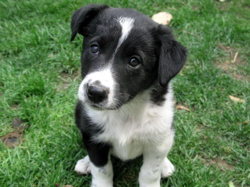 border collier border collie x 2 Puppies for Sale