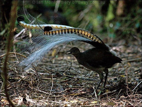 Lyrebirds Family Menuridae Superb Lyrebird Birds Animals