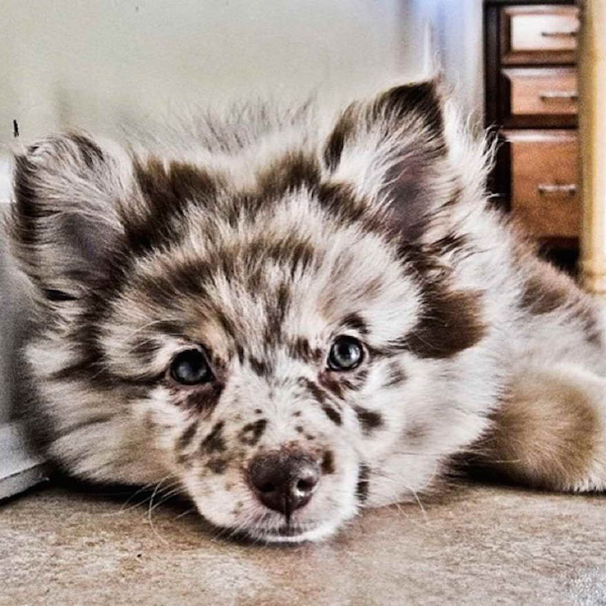 Australian Shepherd Pomeranian Mix For Adoption