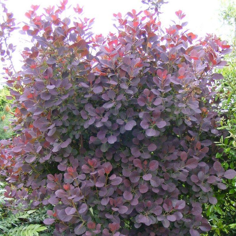 Cotinus coggygria 39 royal purple 39 arbre perruque pourpre perruque pourpre et barbes - Arbuste feuillage pourpre ...