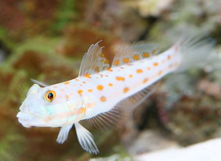 diamond goby fish ocean life reef aquarium fish saltwater tank