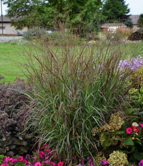 Panicum virgatum Cheyenne Sky whitehouse perennials | Landscape ...