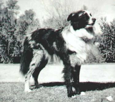 historic photo of australian shepherd Google Search