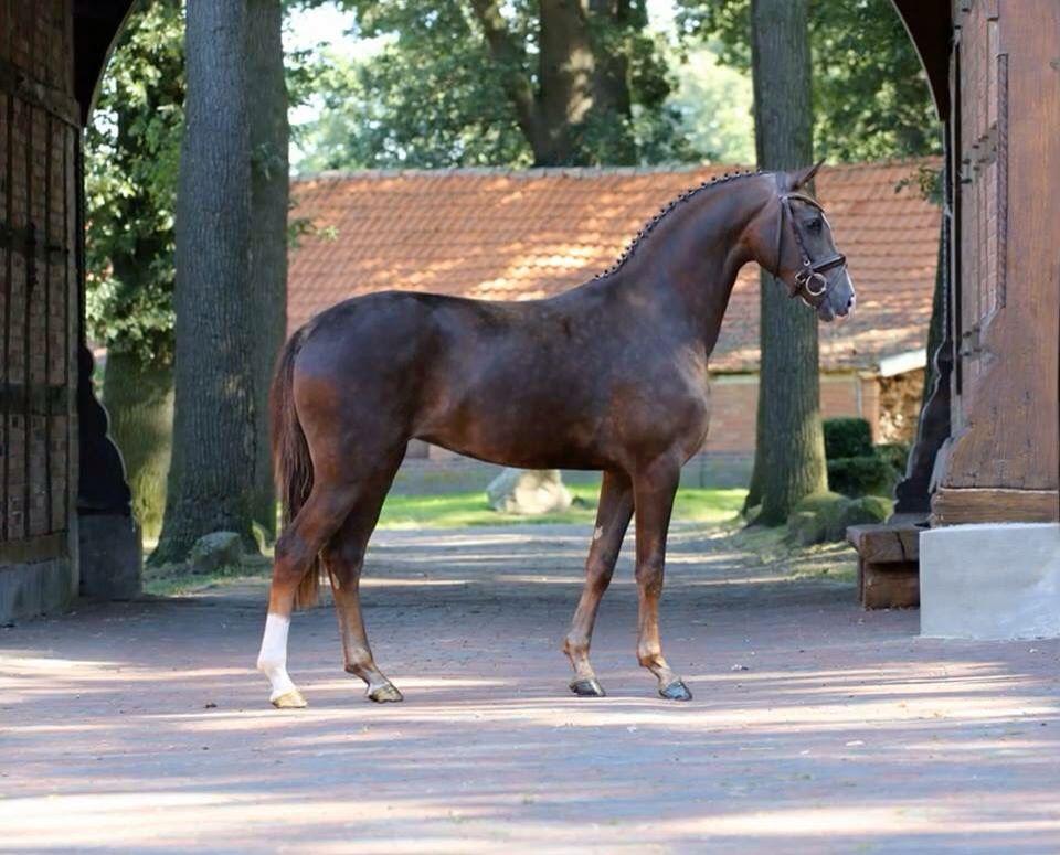 Liver Chestnut Hanoverian Horse Foal Filly Colt Stallion