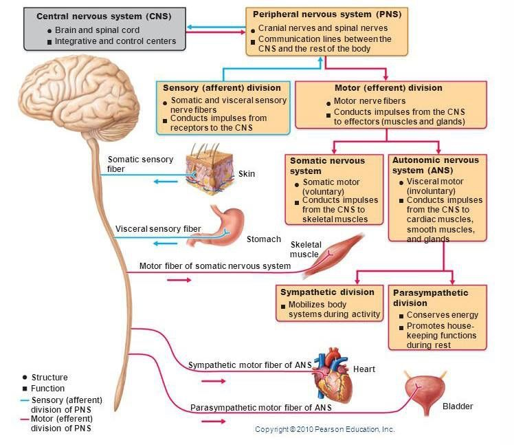 Pin by Andres Sanchez on Physiology Nervous system