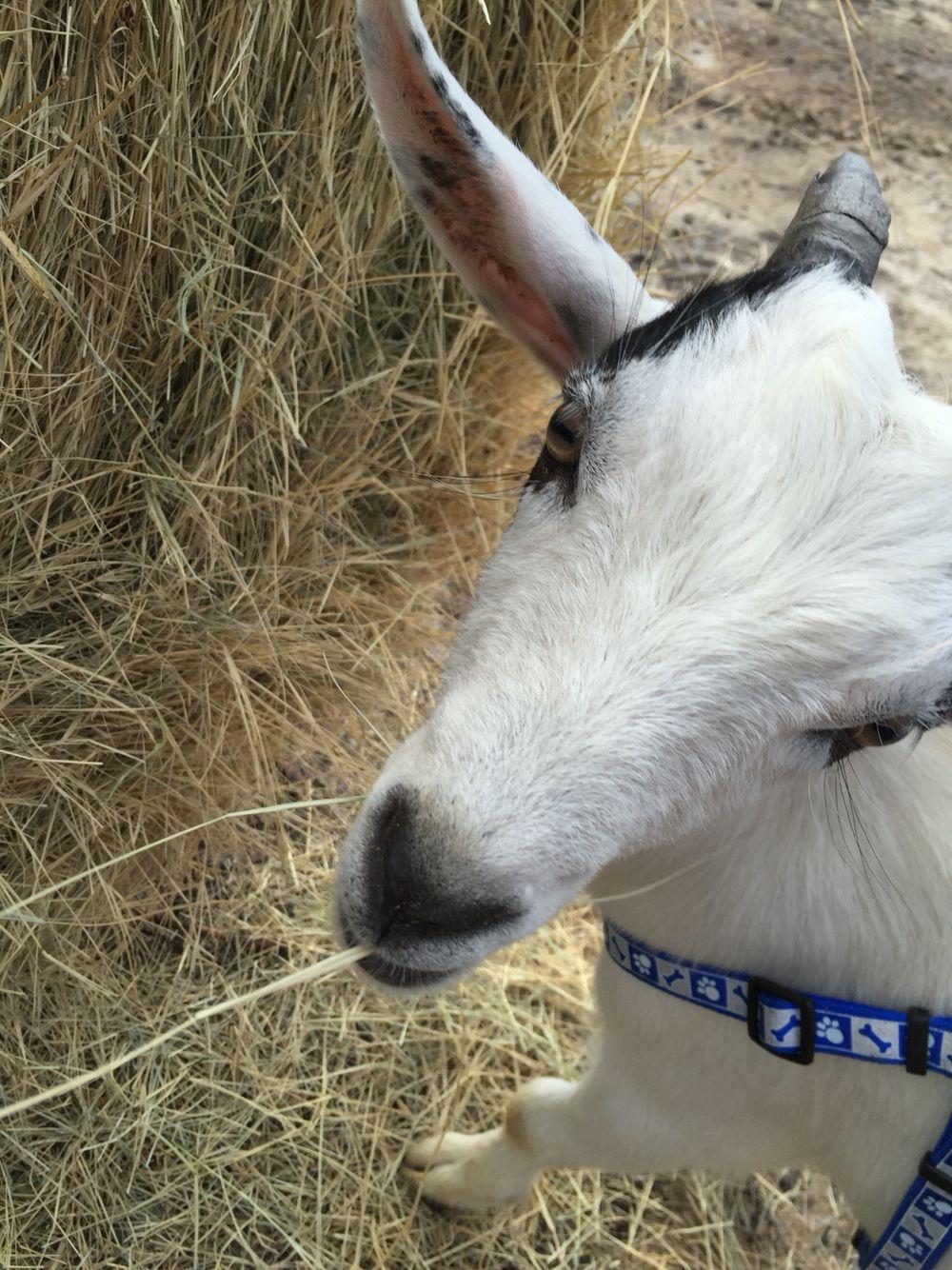 Ottis ️ Goats, Animals