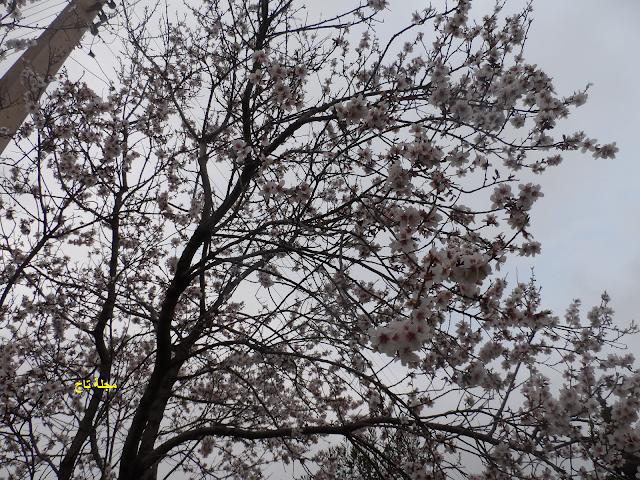 شجرة لوز في شهر فيفري Tree Plants