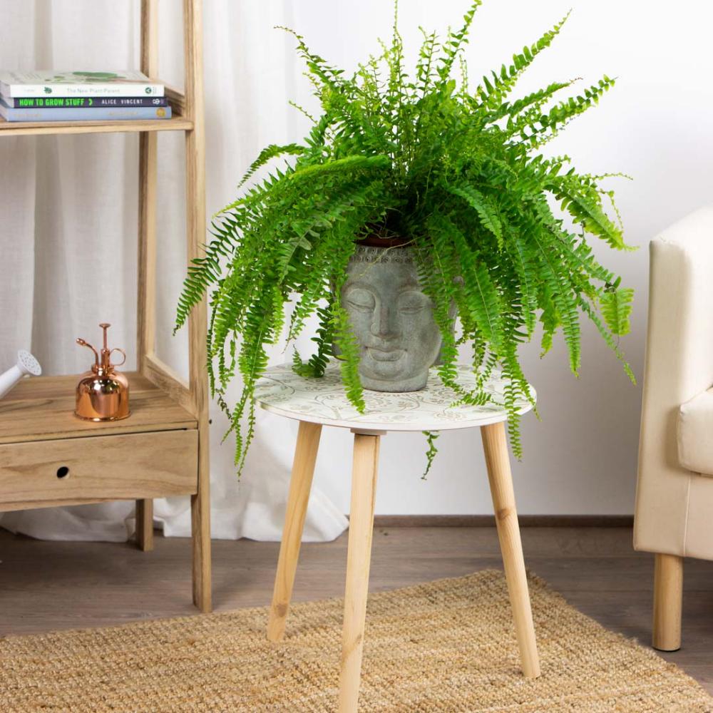 Helecho de Boston. Comprar plantas online. Plantas a domicilio⋆ Be.Green    Helechos de interior, Plantas de interior, Helechos de boston