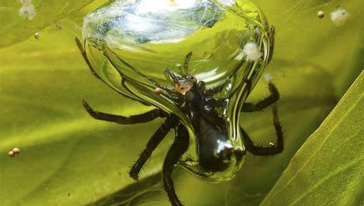 SCUBA SPIDER: A diving bell spider keeps an air bubble around its head so it can spend its whole life underwater