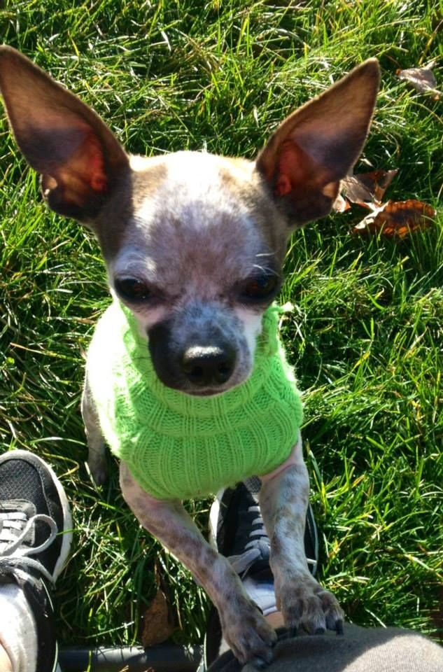 Odie 9 Month Old Male Chihuahua Only 4 Lbsfostered In Essex Maa