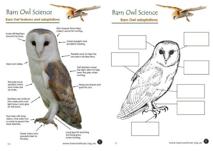 Snowy Owl Adaptations Diagram Speaker Wire For Car Audio Barn Wiring Schematic Digestion Diagrams Lose Family Conservation Science Educational Resources