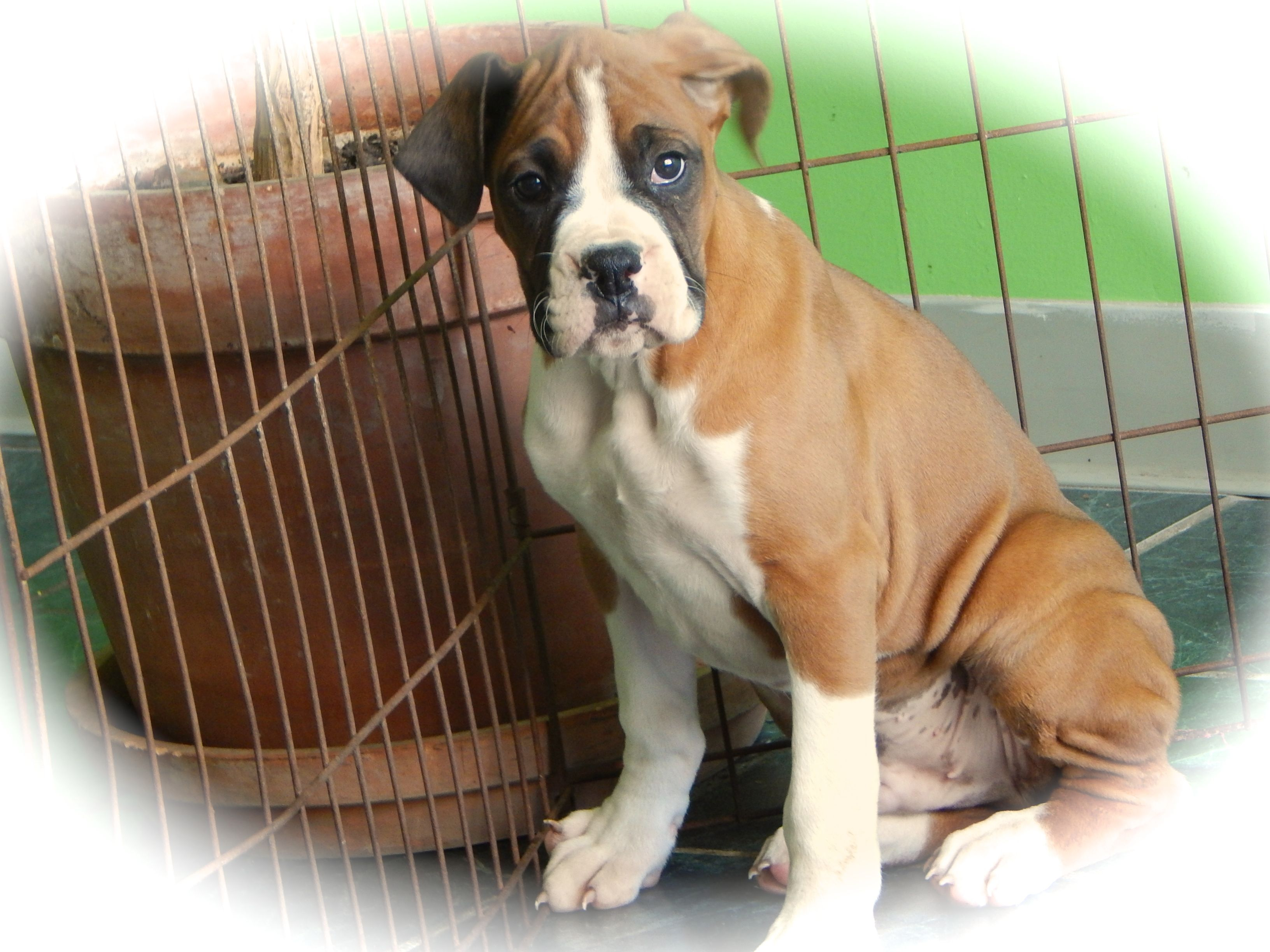 Boxer Dog Breeder SUBS9 in HAMMOND, Indiana, USA on