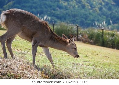Beautiful nature deer in Nara park. japan travel concept #ancient, #animal, #asia, #asian, #autumn, #beautiful, #brute, #city, #culture, #cute, #deer, #deers, #fawn, #feed, #forest, #garden, #grass, #green, #herbivore, #history, #japan, #japanese, #kansai, #kyoto, #landmark, #life, #nara, #nara park, #nature, #old, #outdoor, #park, #sacred, #sightseeing, #sika, #spring, #temple, #todaiji, #tourism, #travel, #tree, #wild, #wildlife, #zen
