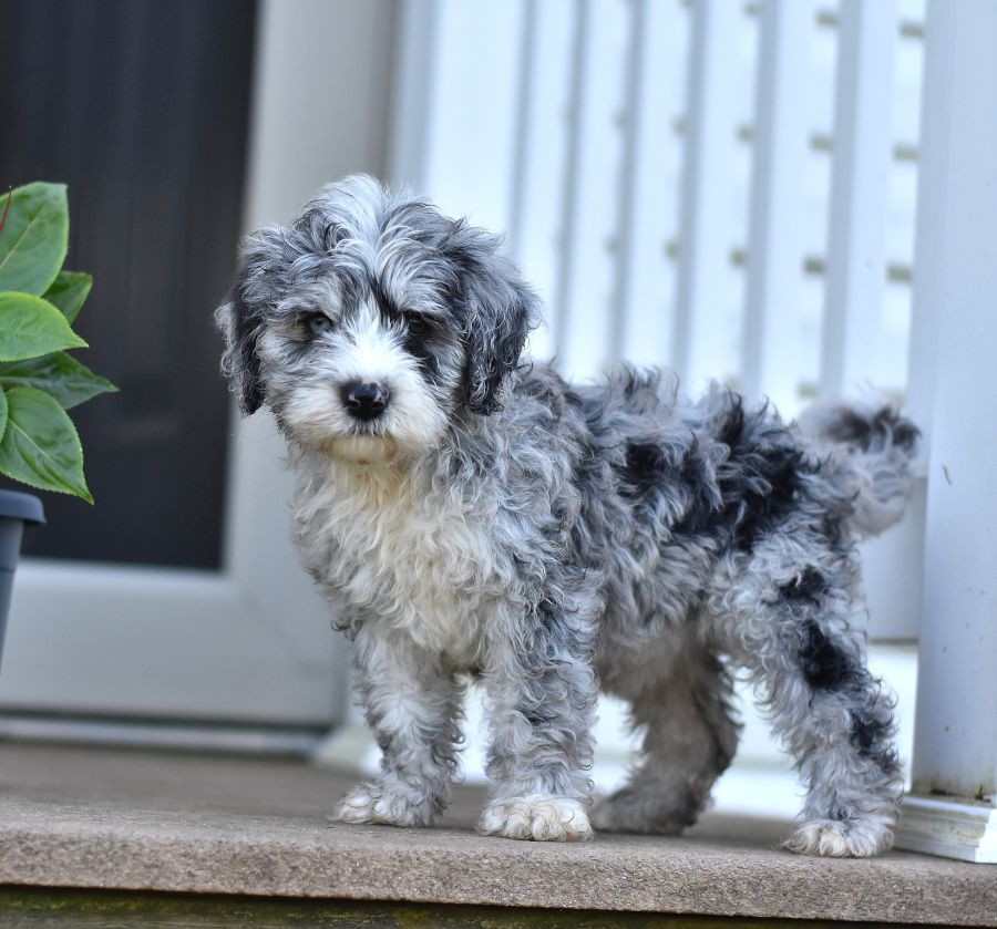 Pin By Karen Wilson On Puppy Ideas Sheepadoodle Puppy Sheepadoodle Puppies For Sale