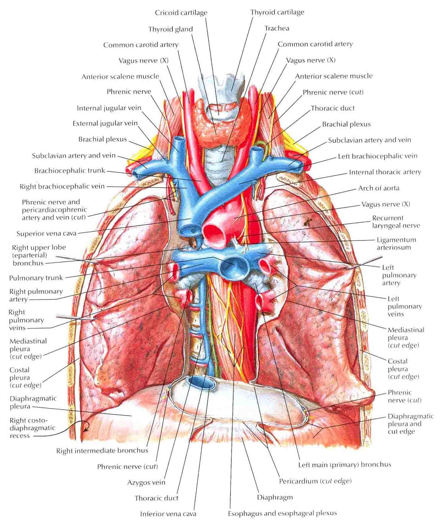hight resolution of main veins burst arterie main bronchi with pulmonary arteries and veins in situ