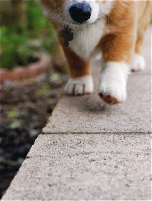 Stumptastic Journey | Willow, a cute Pembroke Welsh Corgi, via Flickr - Photo Sharing! ©Jeff Dillon.