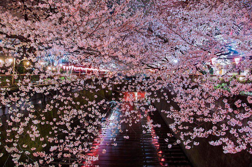 21 Most Beautiful Japanese Cherry Blossom Photos Japanese Cherry Blossom Cherry Blossom Japan Cherry Blossom