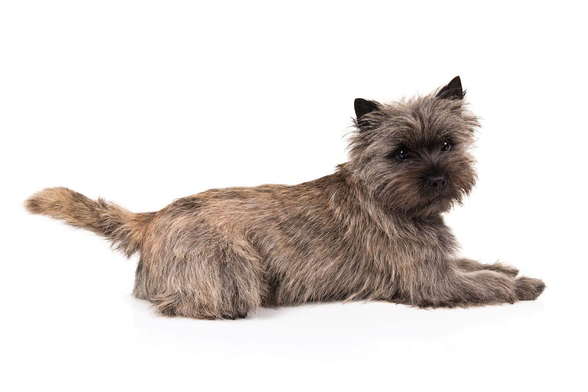 Cairn Terrier Dog Breed Information Cairn Terrier Puppies Cairn
