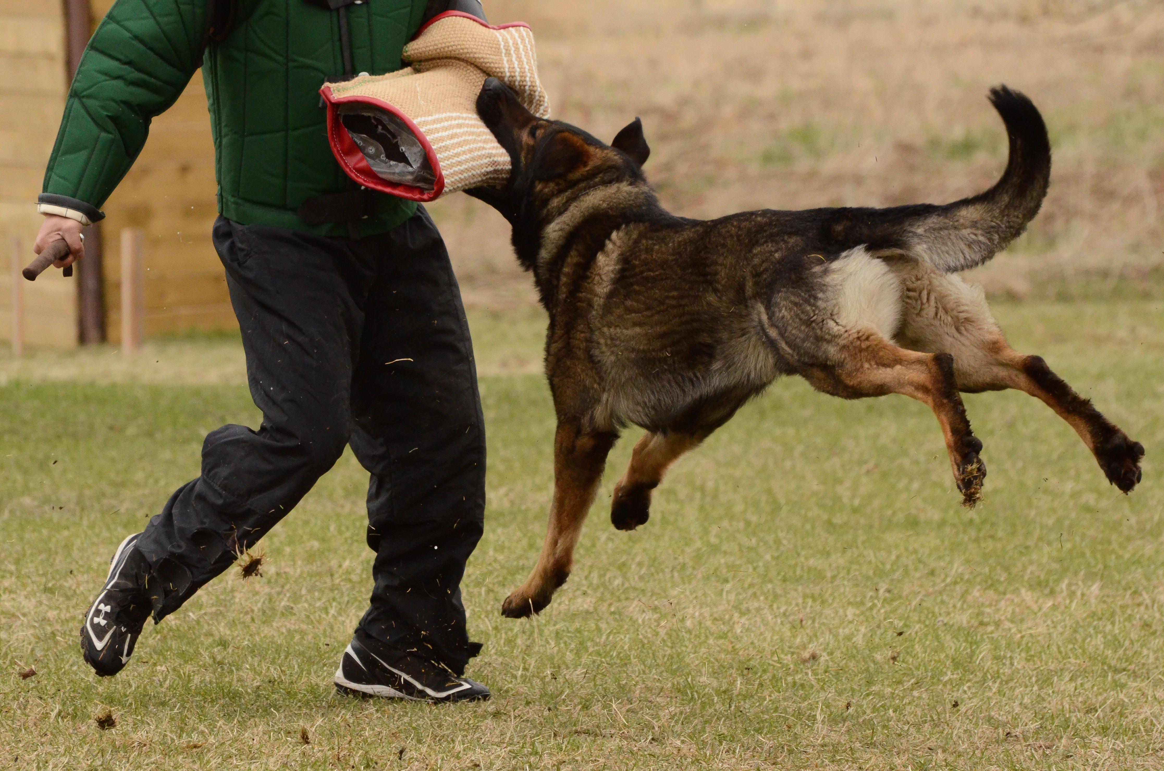 GermanShepherd, Schutzhund, GSD Like, repin, share
