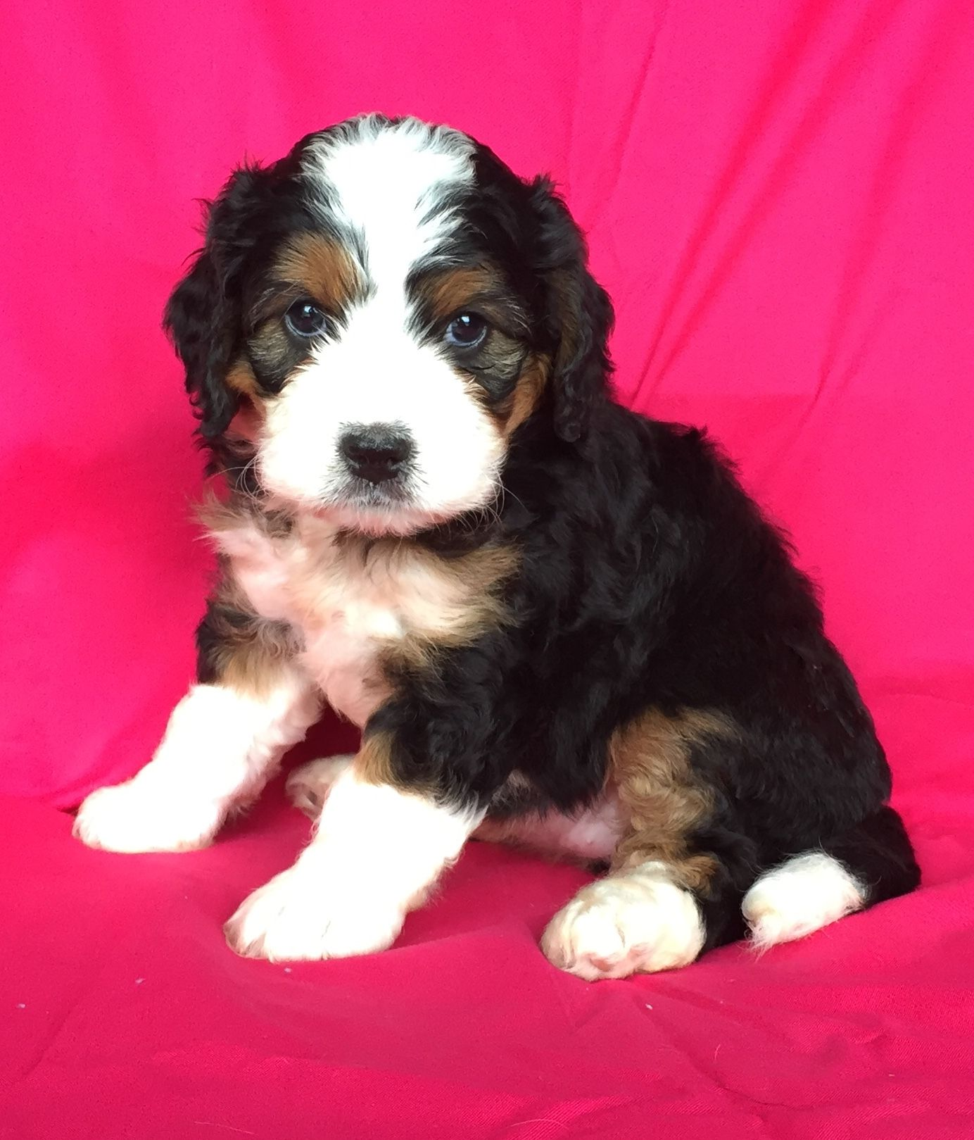 Puppies For Sale Bernedoodle Puppy Dog Breeder Lancaster Puppies